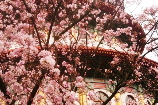 粉紅櫻花幸福氣息~初春浪漫小旅行