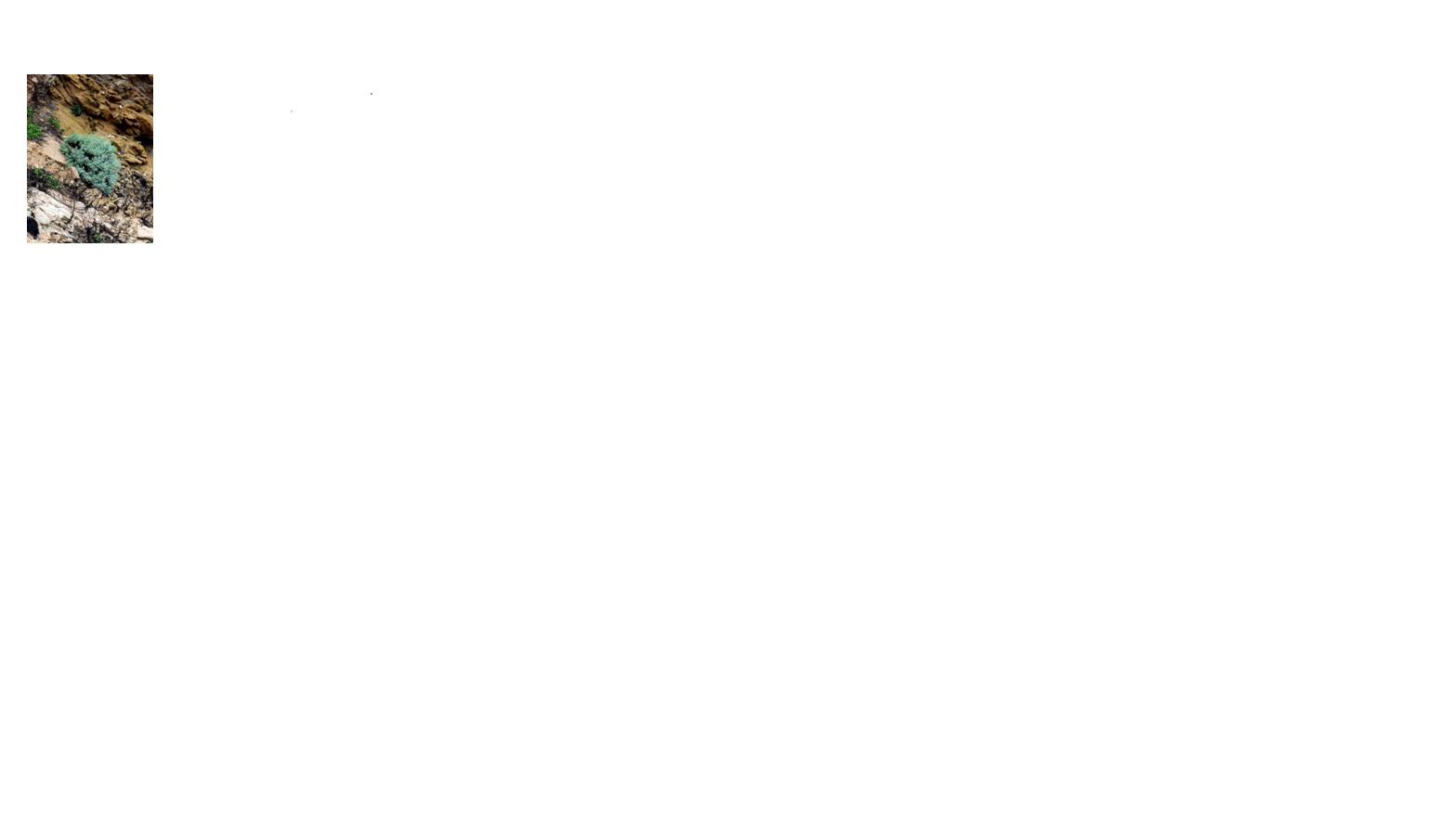 馬祖特有原生植物海芙蓉