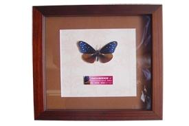 紫斑蝶立體紙標本掛飾