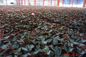 世寶農場-金線連栽培場