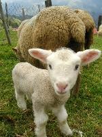 小羊 其他圖片2