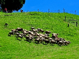 綿羊秀 其他圖片1