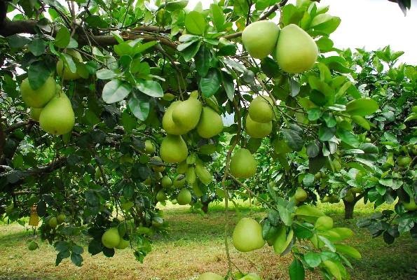 有機柚子園 封面圖片