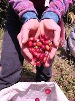 雅谷莊園手採咖啡
